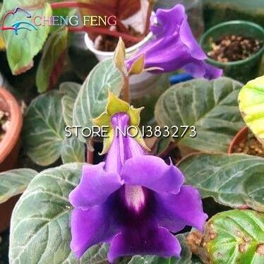 Gloxinia Samen mehrjährige Blütenpflanzen Bonsai 9 Arten Mini Blumen für Haus Garten Ornamente 100 Stück Shown In Desc Orange