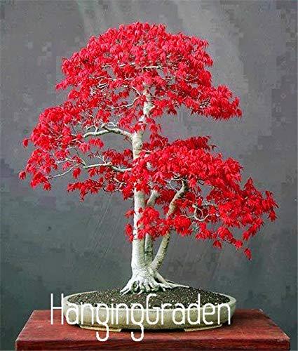 Go Garden Heißer Verkauf 20 Stücke Amerikanischen Maple Flores Baum Plantas 11 Arten Zu Wählen Bonsai Pflanzen Diy Hausgarten 4V0Sar Mischen