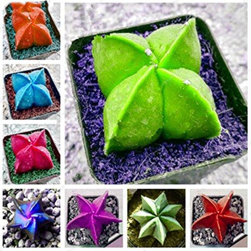 Swiftt Frische Succulents Seeds 20PC fünfzackigen Stern fleischige Samen Seltene Sempervivum Mix-Arten Saftige Blumen Bonsai Topfpflanzen