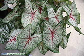 Vista 100 Stücke 18 Arten Zwei Farben Florida Caladium Bicolor Samen Bonsai Colocasia Pflanze Seltene Blumensamen Geschenk für Haus Garten Liebhaber Schwarz