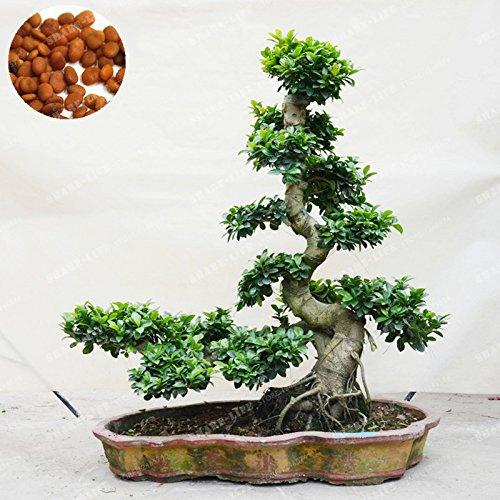 20 PC Exotische Bonsai-Baum Banyan Tree Seed-Büro-Schreibtisch Ficus Ginseng Samen Perennial Ficus Microcarpa Die Budding Rate 95