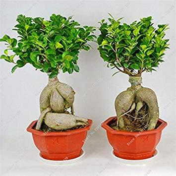 Exotische Bonsai-Baum Banyan Tree Seed-Büro-Schreibtisch Ficus Ginseng Samen Perennial Ficus Microcarpa Die Budding Rate 95 10 Stück