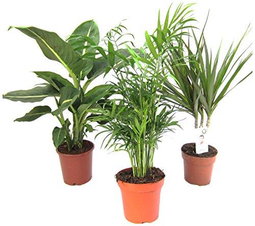 Dominik Blumen und Pflanzen Zimmerpflanzen Set aus 1x Diefenbachie 1x Zimmerpalme und 1x Drachenbaum Dracaena marginata 10-12 cm Topf