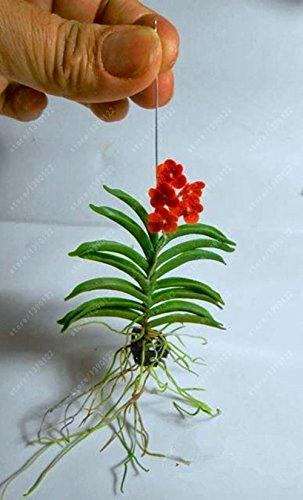 100 PC  bag seltene Mini Orchideensamen Phalaenopsisorchidee Indoor Miniatur-Garten Bonsai Blumensamen Blumentopf Hausgarten Orchidee 11