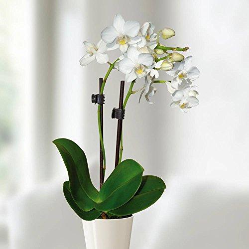 Mini Phalaenopsis Orchidee weiss - 1 pflanze
