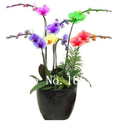 Virtue 100 Stücke Mini Orchidee Bonsai Blume Bonsai Büro Desktop Blumen Indoor Garten Pflanzen vier Jahreszeiten Seltene Geschenke Für Kinder 1