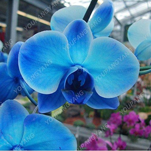 Über 100 Stückbag Phalaenopsis-Orchideen-Samen Pflanze Indoor-Desktop Blumen Wählen Sie eine Vielzahl von Farben Schmetterlings-Orchideen-Keimlinge Orchideensamen