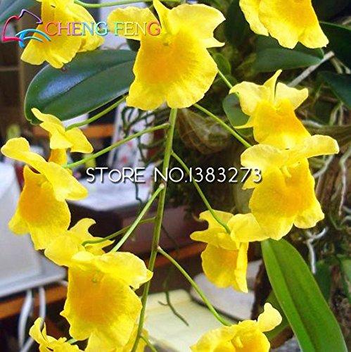 100pcs Beutel Dendrobium Samen Topf Samen Seltene Phalaenopsis-Orchideen-Blumen-Pflanzen Bonsai Gewächshaus der angehende Rate von 99