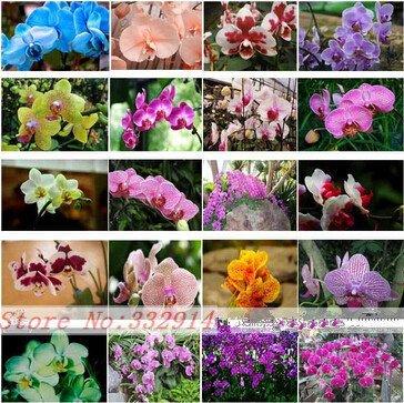 24 Arten Mehrjährige Phalaenopsis Orchidee Samen 100pcs Seltene seltene Schmetterling Fower Samen Garten Flores Innenpflanzen