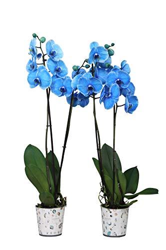 BOTANICLY  Orchidee  Phalaenopsis Blauw  70 cm  Set aus 2 Pflanzen