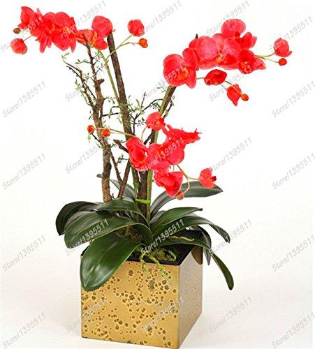 Seltene Orchideen Bonsai Balkon Blumen-blaue Schmetterlings-Orchidee Samen Schöner Garten Phalaenopsis-Orchideen-Samen -100 PCS