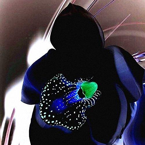 Egrow 100 STÜCKE Rare Black Orchid Blumensamen Exotische Orchidee Hausgarten Bonsai Pflanzen Samen