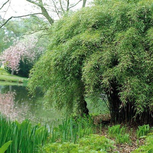 Dominik Blumen und Pflanzen Garten- Schirmbambus Fargesia murielae 1 Pflanze  im 3 Liter Topf  8 - 10 triebig  horstbildend plus 1 Paar Handschuhe gratis
