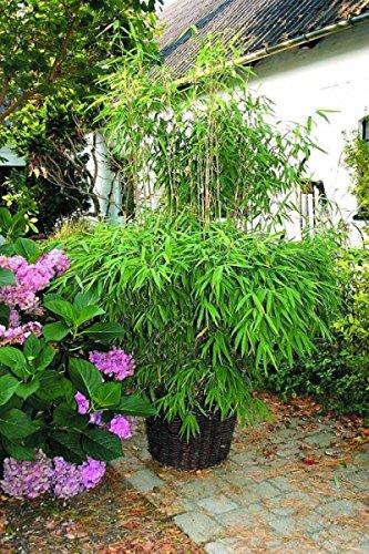 Fargesia murielae Super Jumbo - Hecken-Bambus Super Jumbo Preis nach Größe 80-100 cm