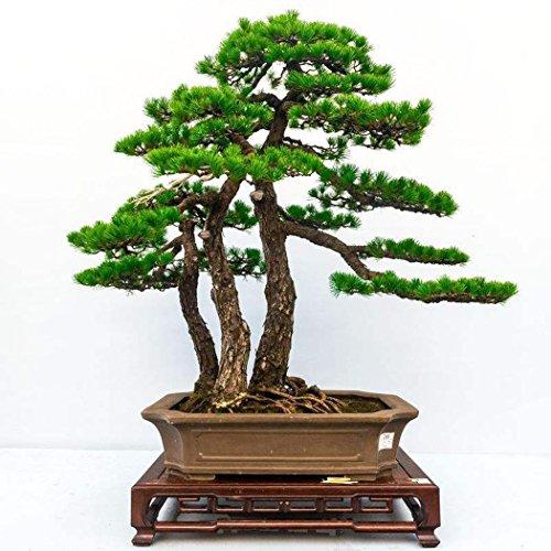 10 stücke20 stücke Kiefer Samen Japanische Weiß Pine Samen Pinus Parviflora Grünpflanze Baum Bonsai Samen