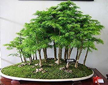 100 PC  bag Juniper Bonsai-Baum-Samen Topf reinigen die Luft Absorption Strahlung Kiefer Samen Hausgarten