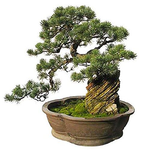 Keland Garten - Japan Zwerg Mädchenkiefer Pinus parviflora Baumsamen Bonsai immergrün winterhart mehrjährig ideal für Pflanzgefäße und Garten