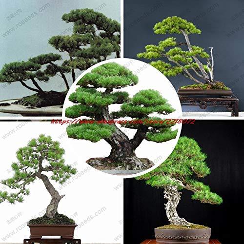 PinkdoseMehrjährige immergrüne Baum Bonsais Japanische Kiefer Bonsai Baum Bonsais Stechpalme Blatt Kiefer Bonsai 20 Teilebeutel