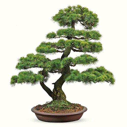 bridene SOTEER Bonsai Japanische Fünf Mädchenkiefer Pinus parviflora 51020 Samen