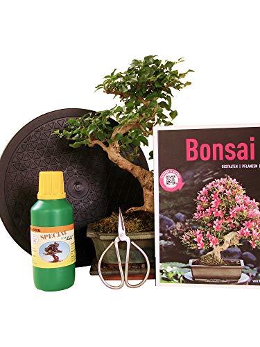Anfänger Bonsai-Set Liguster - 6 teilig - ca 30 cm hoher Liguster 1 Schere 1 Untersetzer 1 Arbeitsdrehteller 1 Flasche Dünger 1 Bonsaibuch