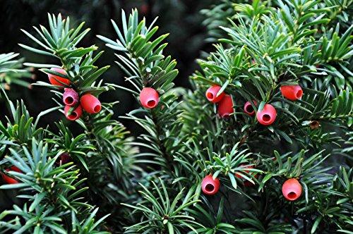 Eibe Taxus baccata 30 Samen