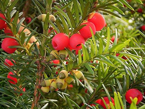 Englisch Eibe Taxus baccata 30 Baumsamen Evergreen Topiary Bonsai