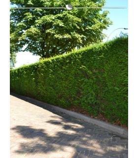 Gemeine Eibe Taxus baccata 120-140 cm 40x Heckenpflanze inkl Versand