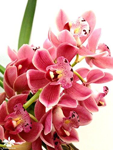 1 blühfähige Orchidee der Sorte Cymbidium Gem Stone rot  traumhafte Orchidee vom deutschen Züchter