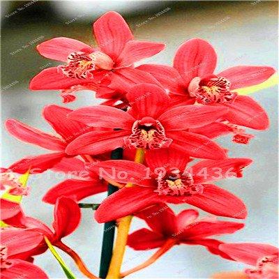 Pinkdose Seltene chinesische Cymbidium-Orchidee Balkon Bonsai Bonsai Garten-Blumen-Orchideen-Semente dekorative Blumen für Haus pflanzt 150 PC 10