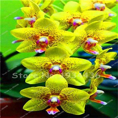 Pinkdose Seltene chinesische Cymbidium-Orchidee Balkon Bonsai Bonsai Garten-Blumen-Orchideen-Semente dekorative Blumen für Haus pflanzt 150 PC 11