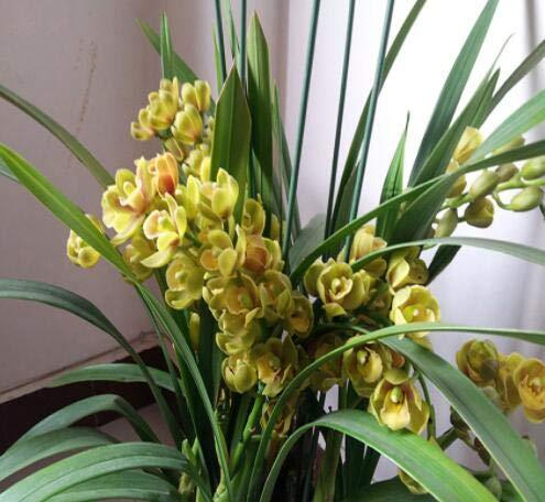 Pinkdose Yellow Cymbidium Samen Garten Terrasse Orchid Bonsai Samen Bonsai Garden Orchideen-Blumen-100 Stück Hellgelb