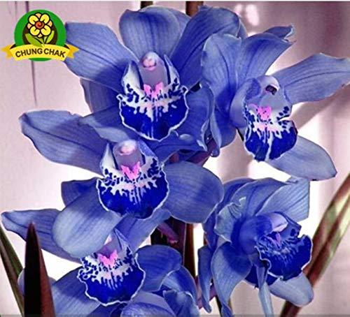 Plantree Blaue Orchidee Samen Seltene Cymbidium Orchidee Afrikanische Cymbidien Samen 100 Samen