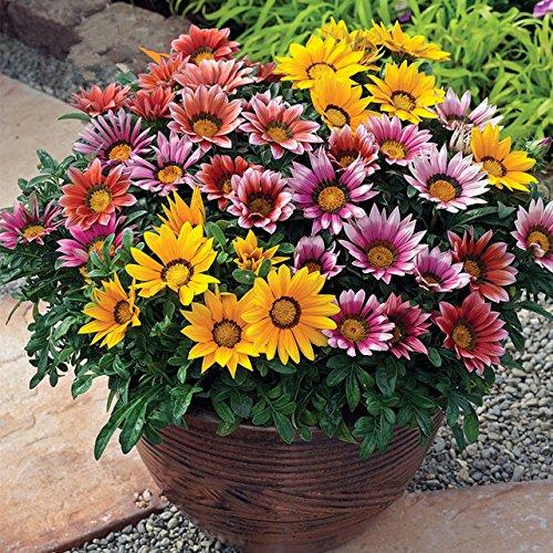Inovey 1000 Stücke Bunte Chrysantheme Samen Seltene Blumensamen Garten Topfpflanzen