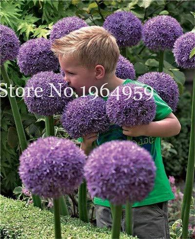 Bloom Green Co 200 Stück Rrae Riesen Allium Giganteum Bonsai Blume Lila Lauch Bio Herrliche Blumen Globemaster für Gartendekoration a