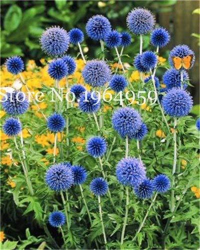 Bloom Green Co 200 Stück Rrae Riesen Allium Giganteum Bonsai Blume Lila Lauch Bio Herrliche Blumen Globemaster für Gartendekoration p
