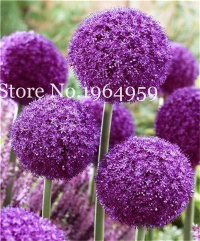 Bloom Green Co 200 Stück Rrae Riesen Allium Giganteum Bonsai Blume Lila Lauch Bio Herrliche Blumen Globemaster für Gartendekoration q