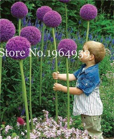 Bloom Green Co 200 Stück Rrae Riesen Allium Giganteum Bonsai Blume Lila Lauch Bio Herrliche Blumen Globemaster für Gartendekoration t