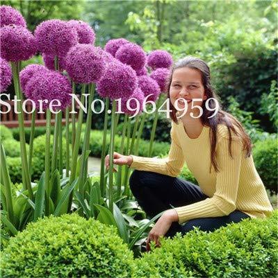 Bloom Green Co 200 Stück Rrae Riesen Allium Giganteum Bonsai Blume Lila Lauch Bio Herrliche Blumen Globemaster für Gartendekoration v