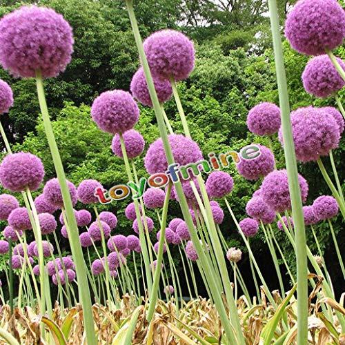 PLAT FIRM KEIM SEEDS 10x Lila Riesen Allium Globemaster Allium Giganteum Zwiebel Bio-Blumensamen