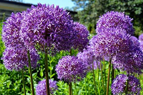 Riesen Zierlauch Globemaster 10 Samen Allium Giganteum