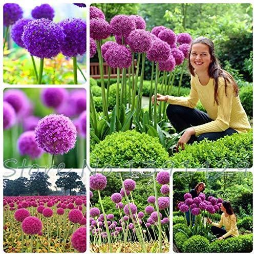 Shopmeeko 50 stücke Lila Riesen Allium Giganteum GLOBEMASTER Schöne blume pflanzen die Knospung 95 Gartenpflanze Für Kinder Geschenk