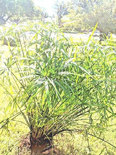 10 besten cyperus alternifolius zum kaufen