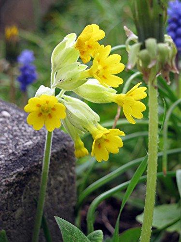 Echte Schlüsselblume Primula veris 200 Samen Himmelschlüssel Wiesen-Primel