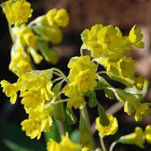 JustSeed Blume Primula veris Schlauch in Schlauch Echte Schl sselblume 100 Samen Groß packung