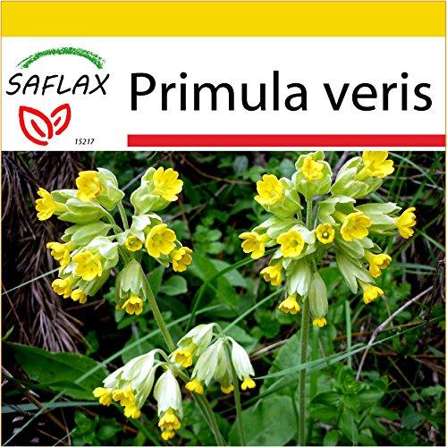 SAFLAX - Anzucht Set - Heilpflanzen - Schlüsselblume - 100 Samen - Primula veris