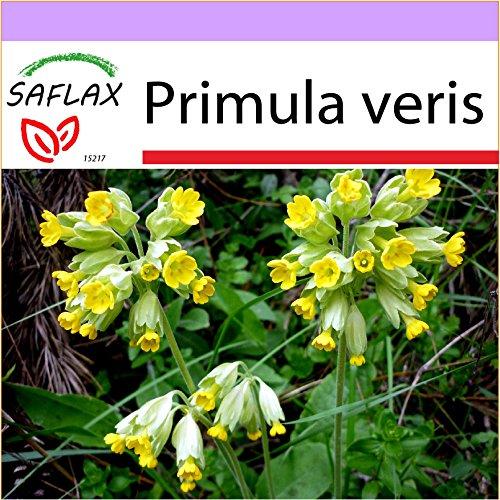 SAFLAX - Heilpflanzen - Schlüsselblume - 100 Samen - Primula veris