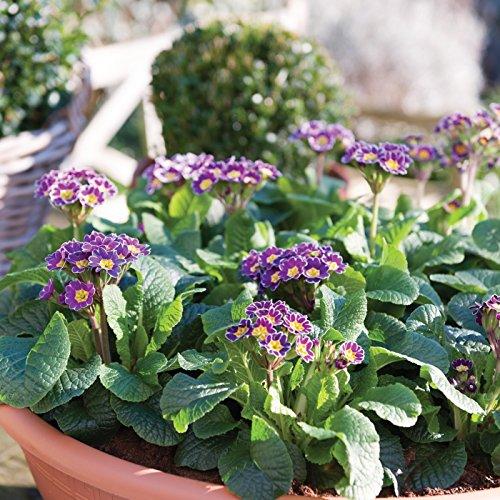 lichtnelke - Schlüsselblume Primula veris Little Queen Violet