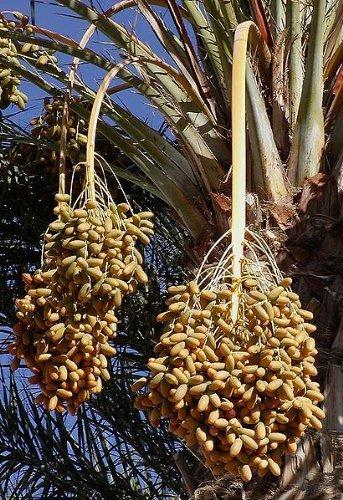 Echte Dattelpalme Frische Samen Mengen Auswahl Phoenix dactylifera 15