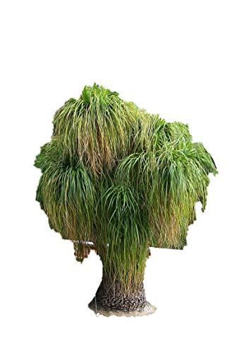Elefantenfuß Palme 25 Samen -Beaucarnea recurvata- Toll Zimmerpflanze