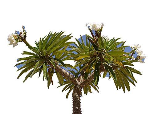Madagaskar Palme 10 frische Samen -pachypodium lamerei-